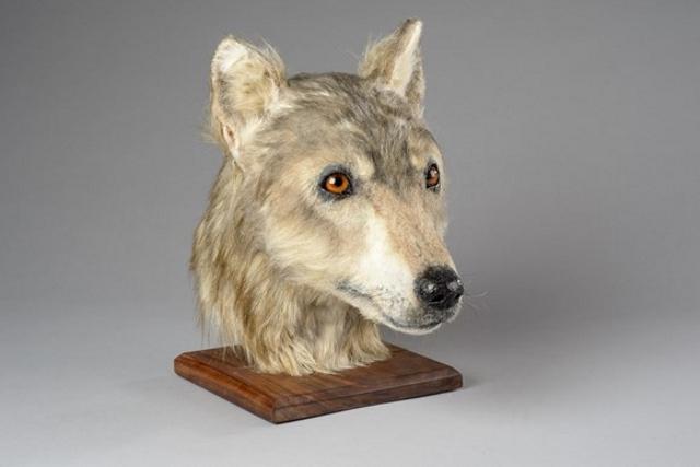 La cabeza de un perro del neolítico, reconstruida por forenses