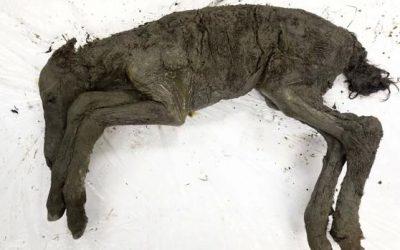 Hallan un potro congelado de 42.000 años con sangre líquida en sus venas
