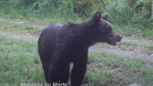 La otra cara del confinamiento: los osos pardos vuelven a la montaña española