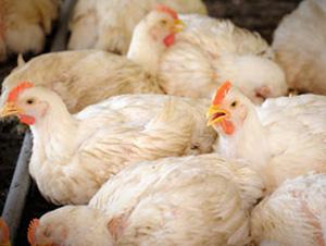 Revelan pistas sobre cómo los virus de la gripe aviar evaden a las vacunas