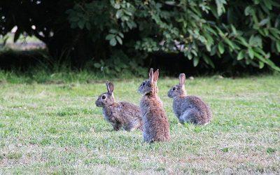 Estudian el cerebro de los conejos para entender la domesticación de los animales