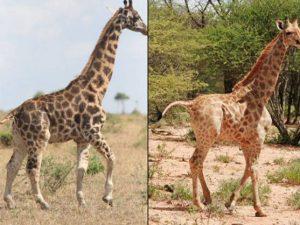 Descubren dos jirafas enanas, un hallazgo que intriga a los científicos